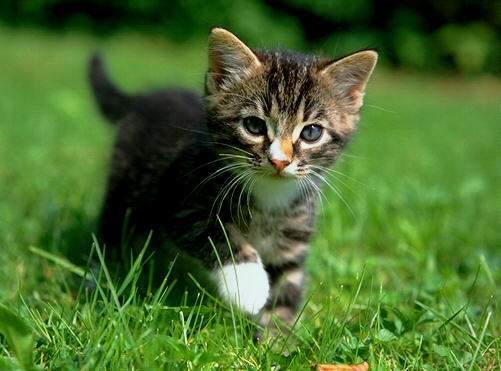 Le CHAT domestique dans CHAT chat-1
