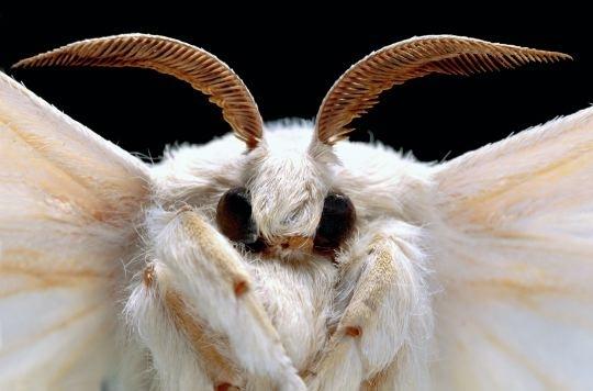 papillon bombyx دودة القز bombyx-1.jpg