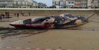Une baleine échouée aux Sables d'Olonne © - 2013 Hélène Bénis