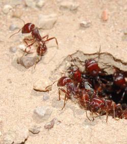 Chez les fourmis, la reine conserve la semence des mâles fourmis pendant 20 ans