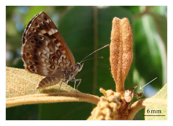 La femelle Aricoris propitia et la fourmi de feu qui élèvera sa larve. (photos © 2012 Lucas A. Kaminski and Fernando S. Carvalho-Filho)