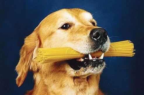 Le chien est un descendant direct du loup, dont l'ancêtre aurait pris goût à l'amidon en fouillant dans les décharges des premiers agriculteurs du néolithique.