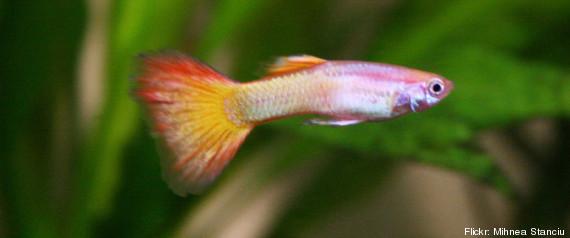 Un petit poisson capable de se reproduire apr s sa mort for Donner des poissons