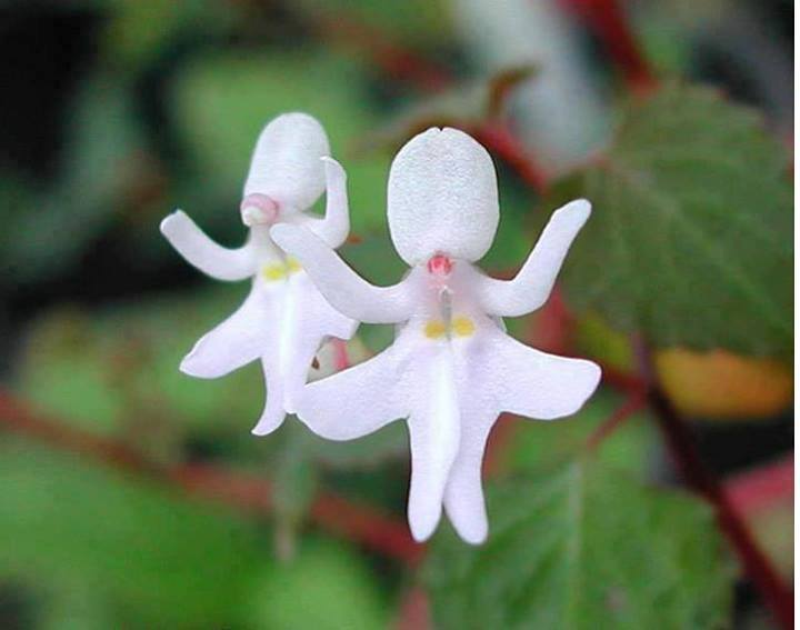 orchidee la plus rare