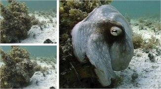 Octopus coloré comme un roc. Photo par Roger T. Hanlon