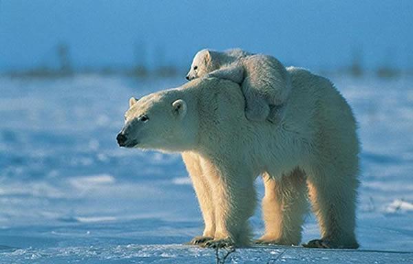 Souvent Suivez en direct la migration des ours polaires au Canada  YI49