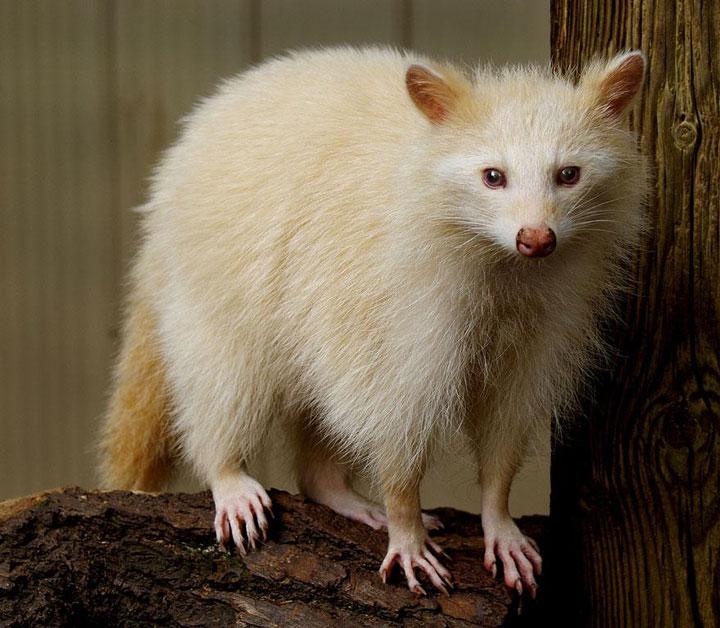 les animaux albinos 29