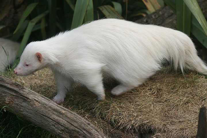 les animaux albinos 45