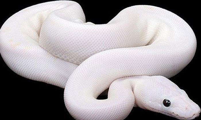 les animaux albinos 61