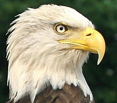 L'aigle à tête chauve, emblème des États-Unis, fait partie des espèces menacées. (Photo : Karen Bleier/AFP)