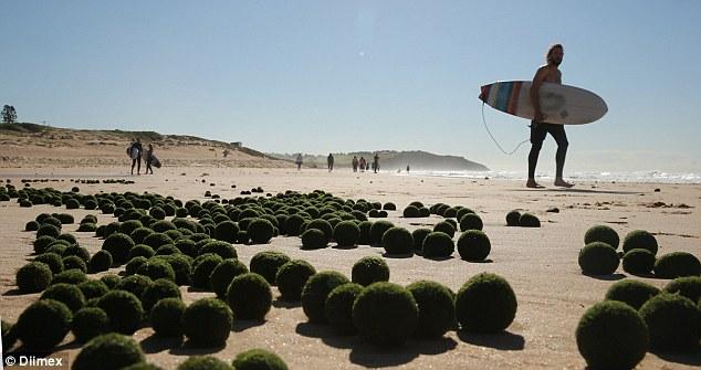 Les «œufs étrangers» verts mystérieux jonchent Dee Why Beach de Sydney