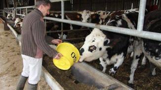 Un bœuf cidré boit un saut de 15 litres de cidre par jour | Photo Ouest-France