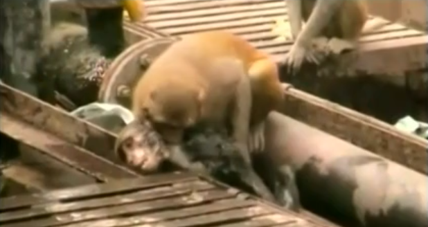 Un singe électrocuté sauvé par un autre singe dans une gare (vidéo) 015