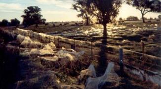 Paddocks à Albury montrent l'étendue de la «araignée pluie». Photo: Keith Basterfield