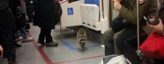 Un raton laveur a erré dans sur le quai d'un métro de Toronto, mardi 2 février. ©Captured'écran BlogTO/Twitter