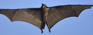 Les chauves-souris vampires se nourrissent d'insectes mais surtout de sang, qu'elles sucent sur les animaux, notamment le bétail, et à défaut sur les humains vivant dans leur environnement. (PATRICK KIENTZ / BIOSPHOTO / AFP)