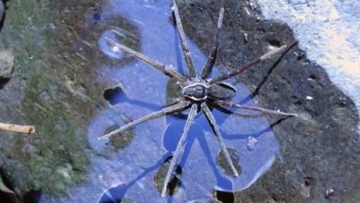 Brian, l'araignée capable de pêcher et de surfer sur l'eau. © Twitter Brian Greene.