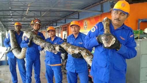 Le python de 8 mètres découvert en Malaisie. © Herme Herisyam, Malaysia¿s Civil Defence Force.