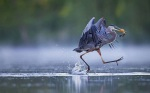 Great Blue Heron. Top 100, Amateur Category. Christopher Schlaf.