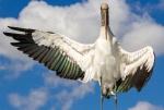 Wood Stork. Top 100, Amateur Category. Richard Johnson.