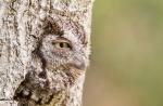 Eastern Screech-Owl / Top 100, Amateur Category. William Kleinfelder.