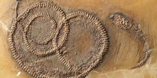 Ce fossile date de 48 millions d'années. Un lézard a avalé tout cru un pauvre petit insecte. Sa mort a été vengée deux jours plus tard par un serpent. Comment le sait-on? Le reptile s'est retrouvé piégé dans le lac volcanique de Messel Pit. © (Twitter).