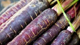 A bushel of purple carrots fresh from the ground