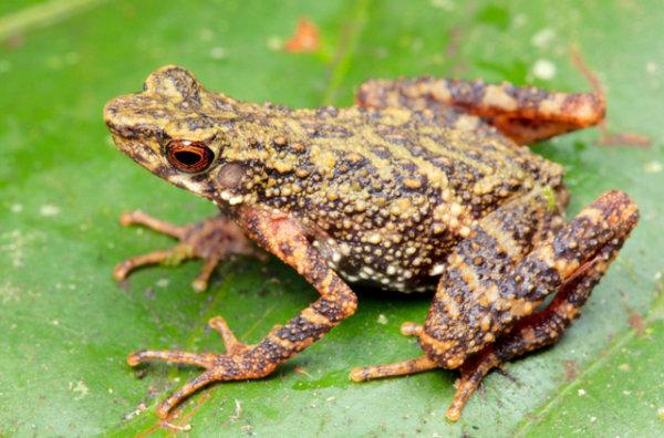 L'animal a été baptisé Ansonia teneritas. (Photo: Musée d'histoire naturelle de Berne)