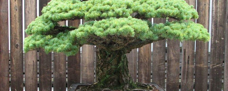 Le pin de Yamaki, ce bonsaï planté en 1625 qui a survécu à Hiroshima et continue de prospérer (vidéo) 162