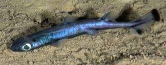Qu'est-ce que fait ce requin lanterne en Méditerranée?