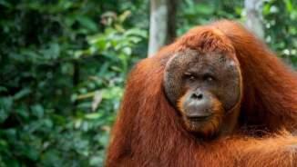 Orang Utan Alpha male resting in Borneo