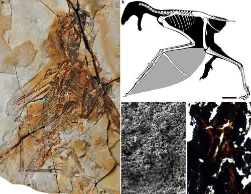 De minuscules dinosaures planaient grâce à leurs ailes de chauve-souris (vidéo) By Jack35 1-24