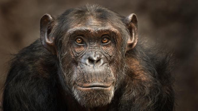 Comment un parasite mortel du paludisme a été transmis du chimpanzé à l'humain ? 1-69