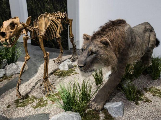 Il existait deux sous-espèces de lions des cavernes, confirme une étude (vidéo) By Jack35 1