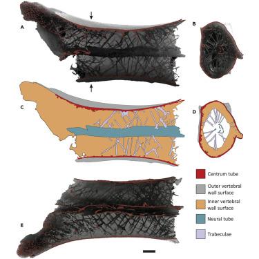 Comment les plus grands dinosaures volants supportaient leur cou démesuré (diaporama et vidéo) By Jack35 4-11